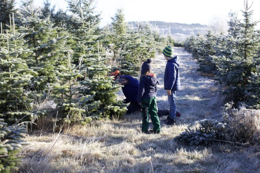 Weihnachtsbaum selber schlagen moglingen